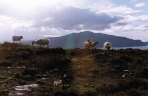 Sheep Rainbow