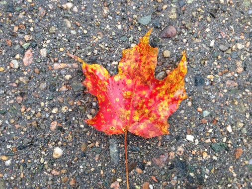 autumn, fall, maple leaf