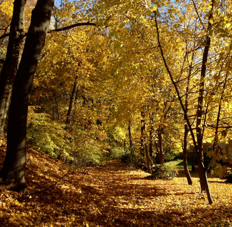 Golden Woodland Path, autumn, fall, tree
