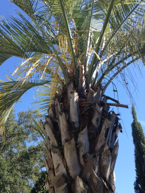 Palm Tree Orlando Florida