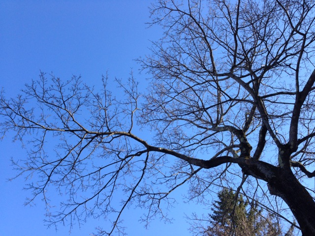 Blue sky and a tree in the shape of a heart.