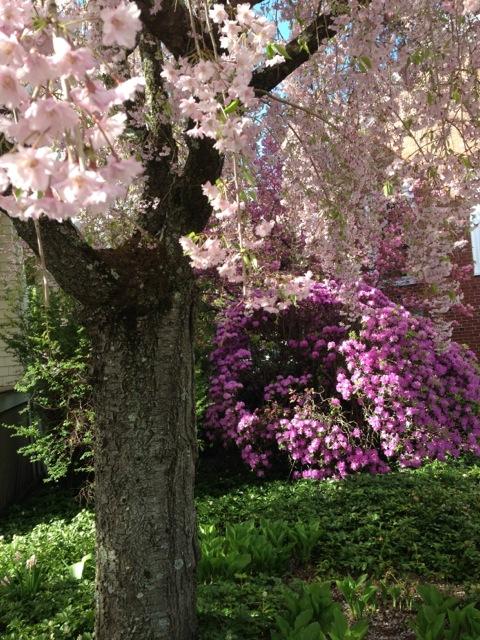 cherry blossoms, azalea