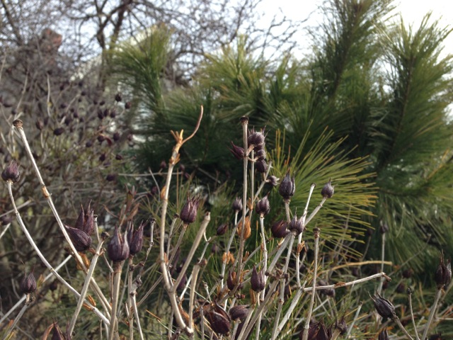 Seed pods in Spring