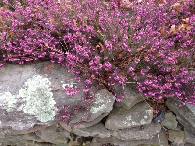 heather blooming on stone wall