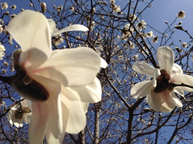 Magnolias blooming