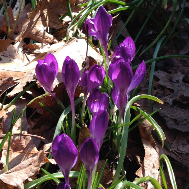 Purple Crocuses in Bloom