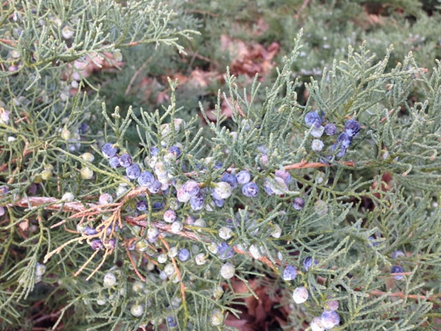 Juniper Berries in Spring