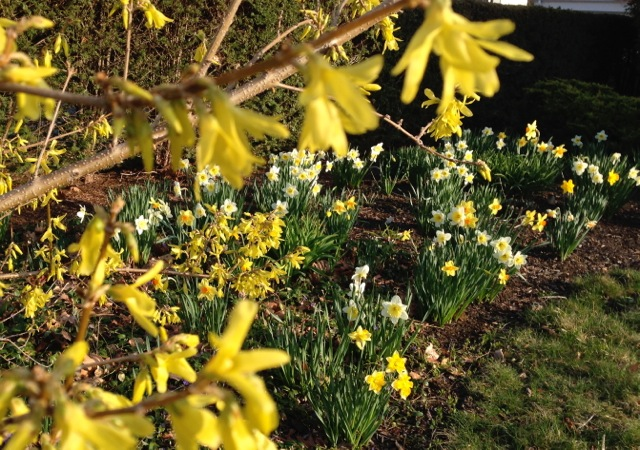 Forsythia and Daffodils blooming