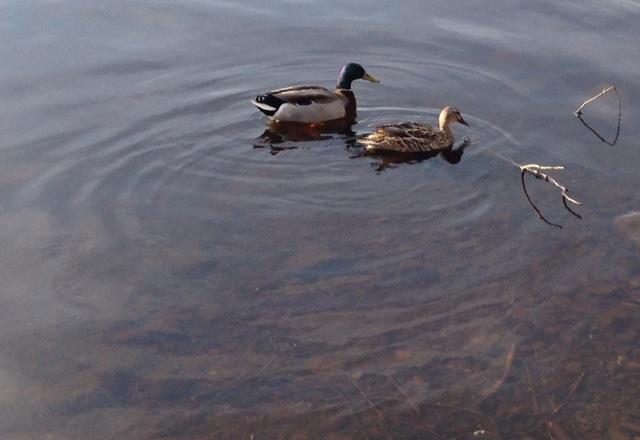 Mallard Male and Female Ducks