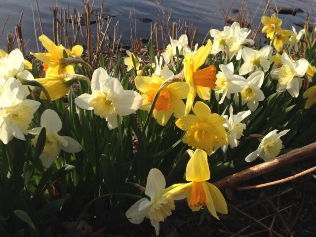 Daffodils, river, fairy tale