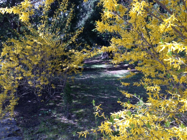 Forsythia path