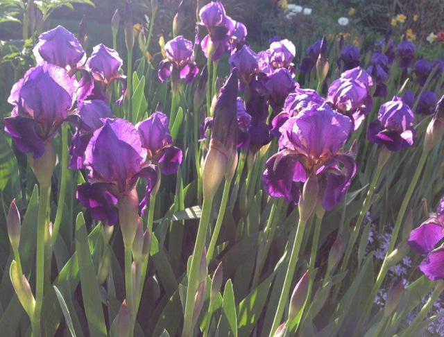 Purple Irises in Sunshine