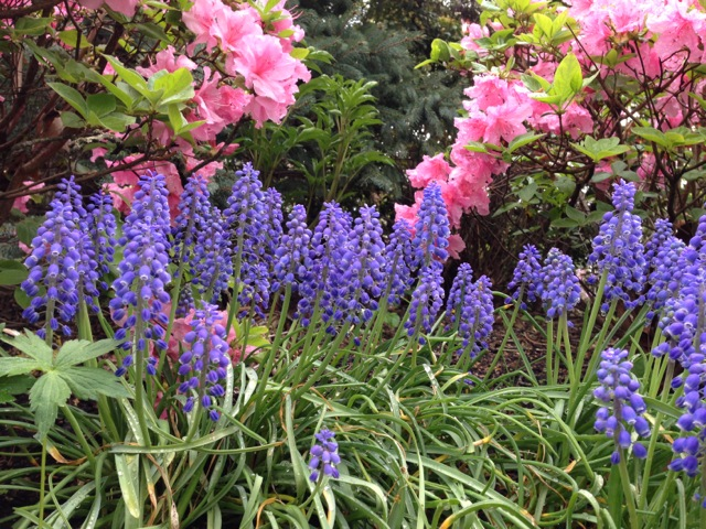 azalea and wood hyacinth