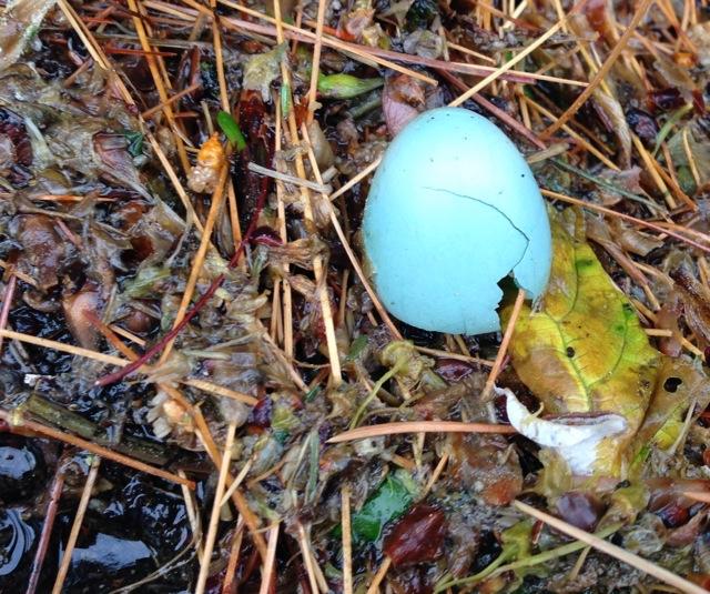 Robin Egg Shell