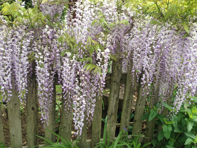 Wisteria on a wooden fence