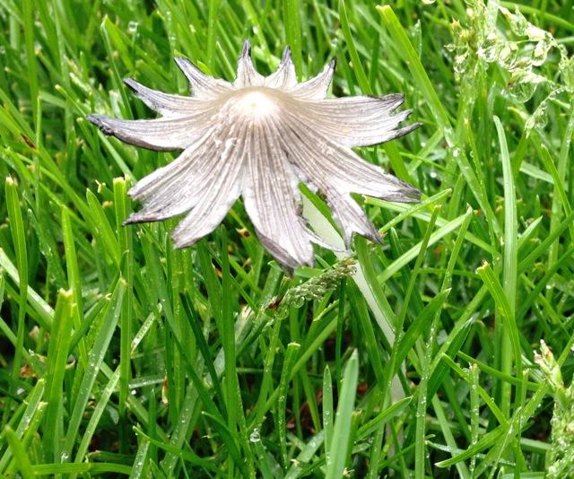 Lacy Cap Mushroom