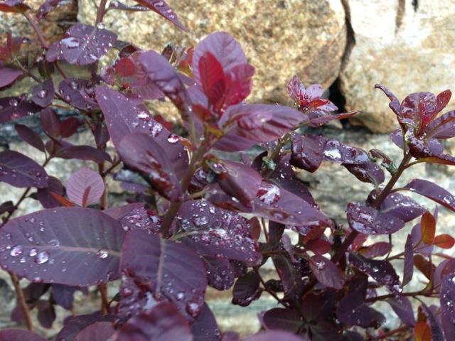 Red Smokebush in Rain