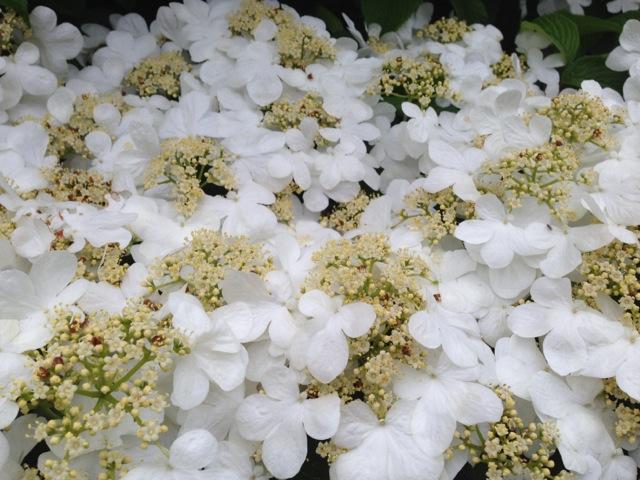 white hydrangea blossoms