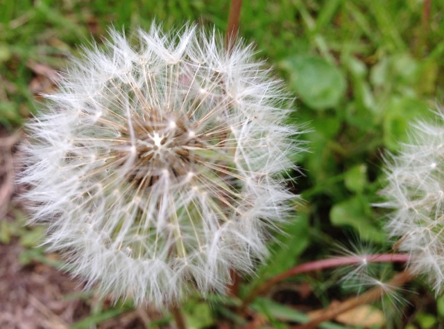 Dandelion seeding