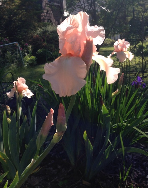 Pink Iris in Bloom
