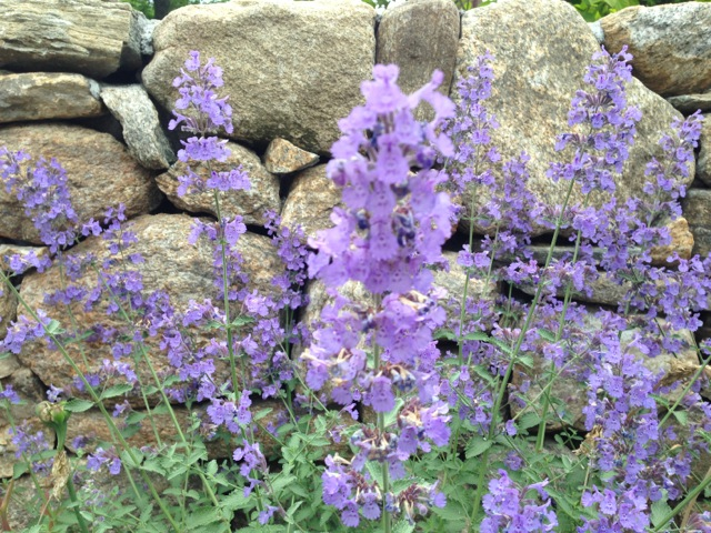 Salvia and stone wall