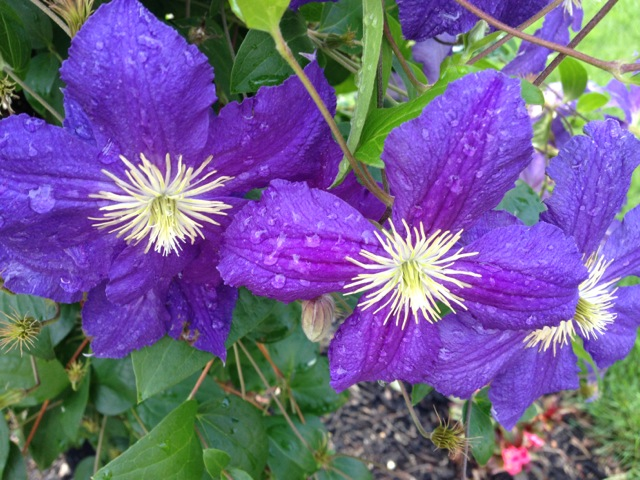 Rain-dappled Purple Clematis