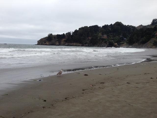 Seagull, beach, pacific ocean, muir beach