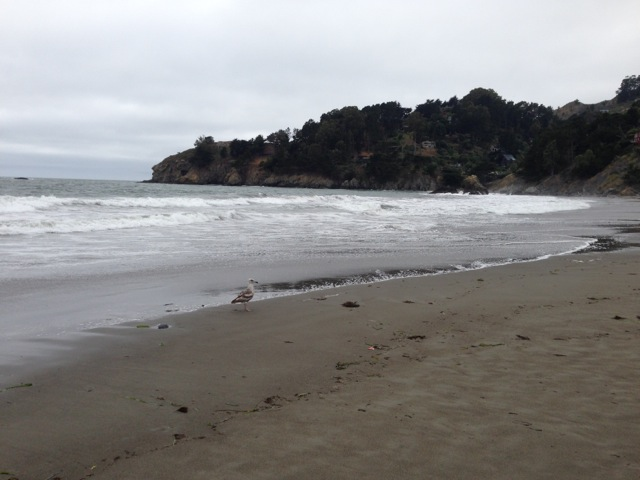 Seagull, beach, pacific ocean, muir beach
