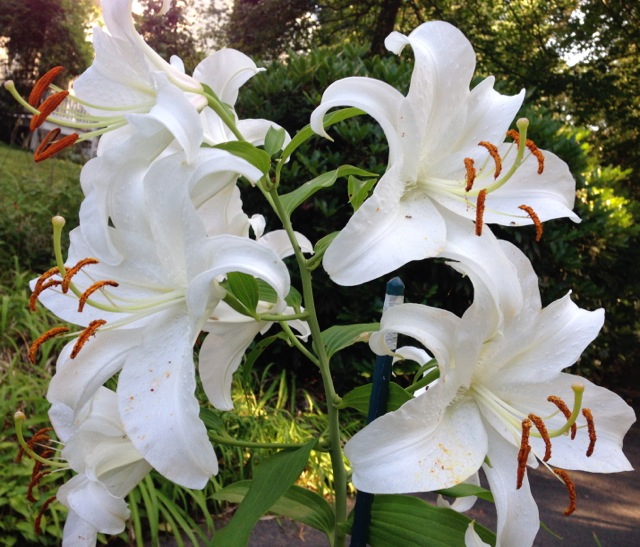 White Lilies in the morning