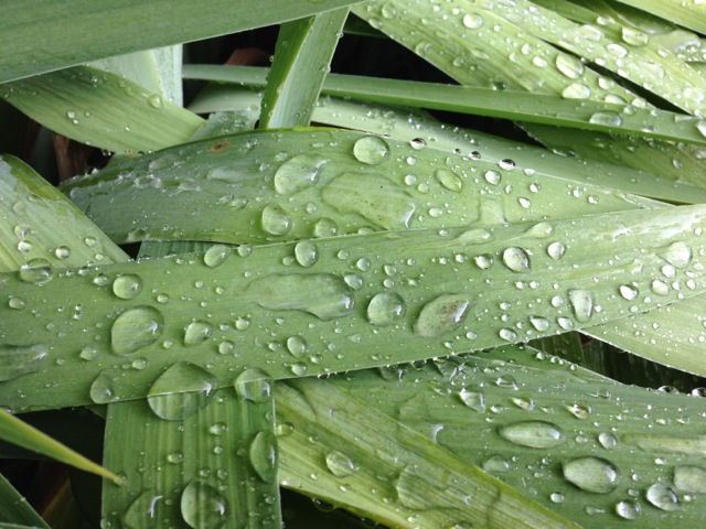 Rain on Lily Leaves