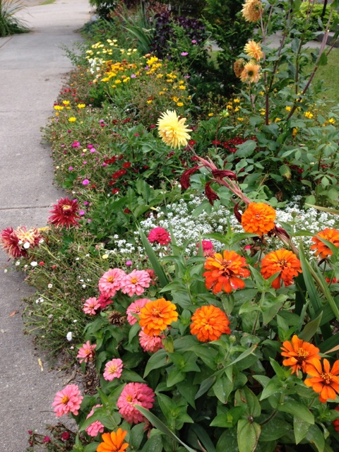 Zinnias and Dahlias