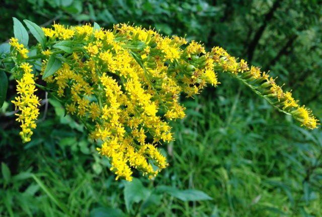 Blooming Goldenrod