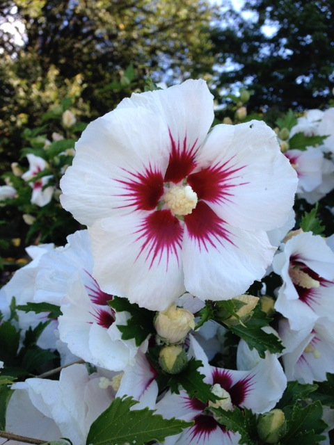 White and red rose of sharon
