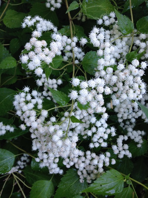 Blooming White Snakeroot in MA