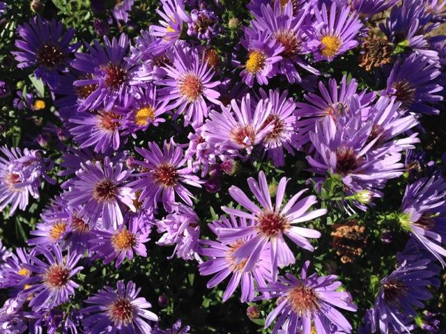 Blooming Purple Asters