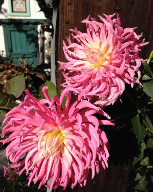 Pink Dahlias in bloom