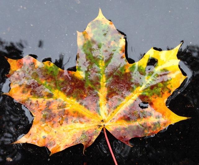 Multicolored Maple leaf in fall