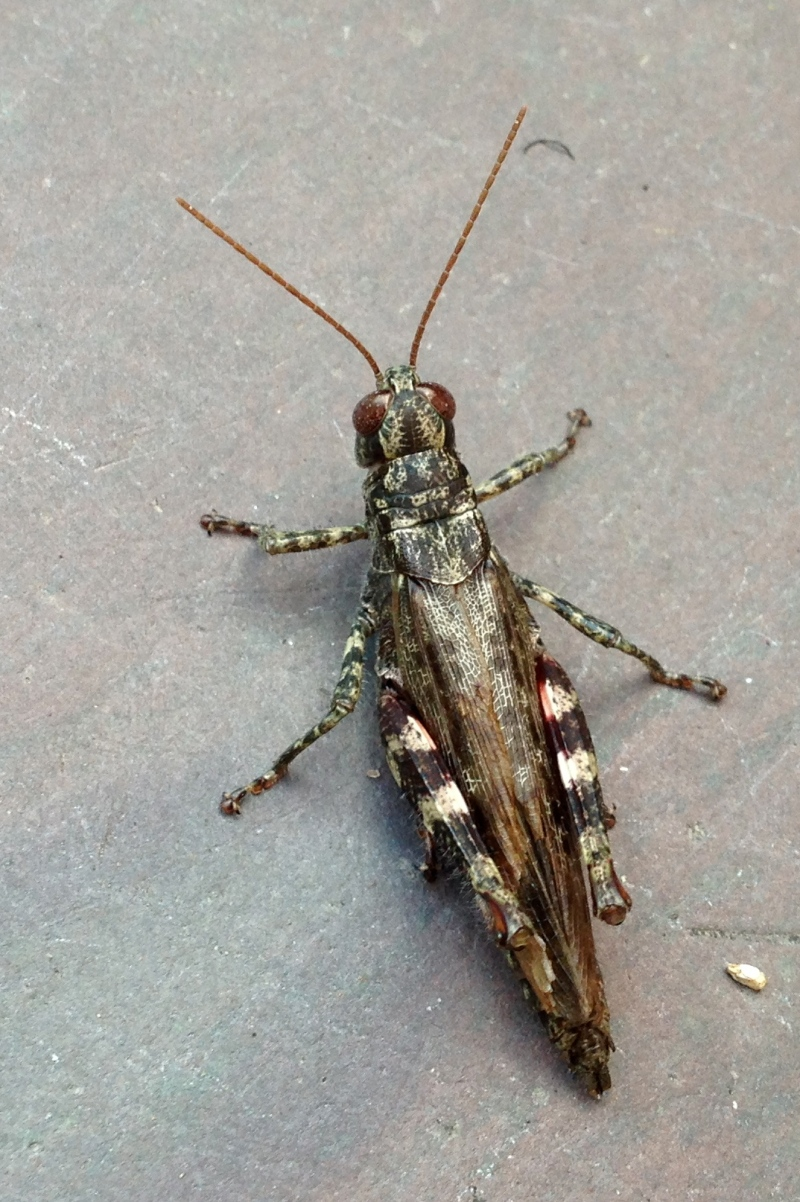 Pinetree Spurthroated Grasshopper - Melanoplus punctulatus