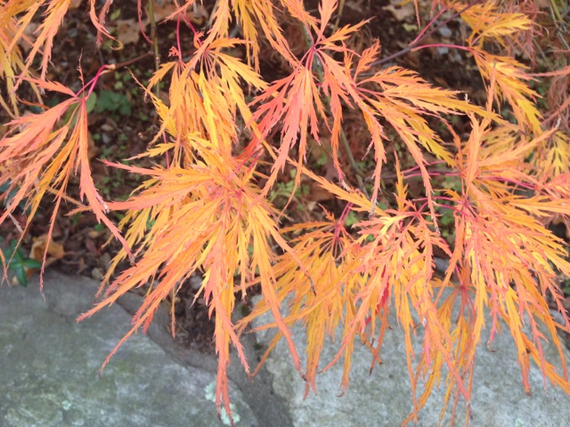 Orange Japanese Maple leaves