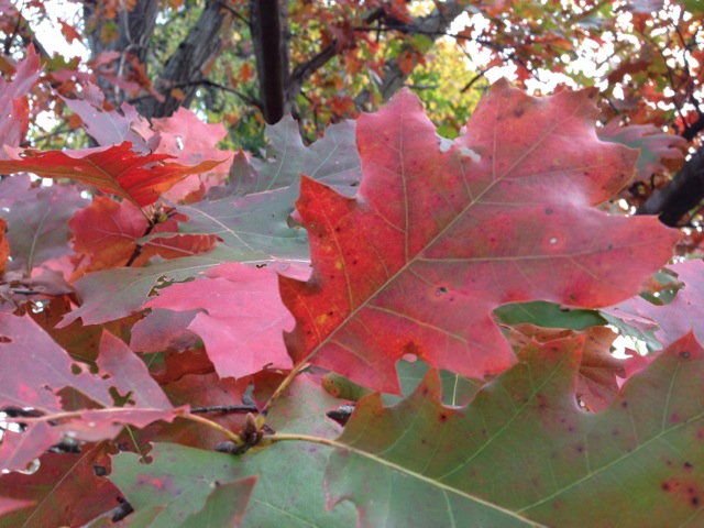 Red Oak Leaf Autumn