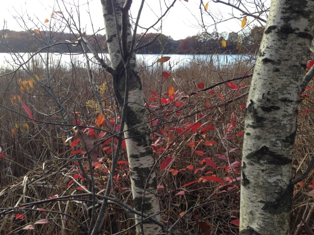 Silver birches, red leaves by lake