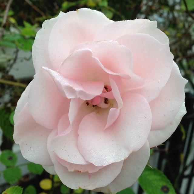 Pale Pink November Rose