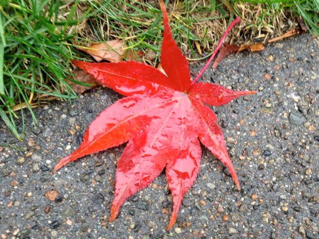 Wet Red Leaf