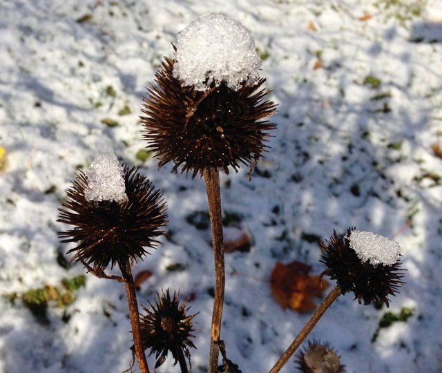 Echinacea Seedpods with snow