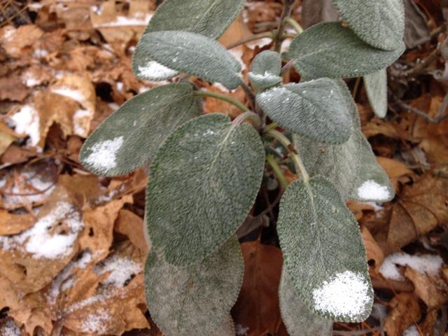 Snowflakes on Sage