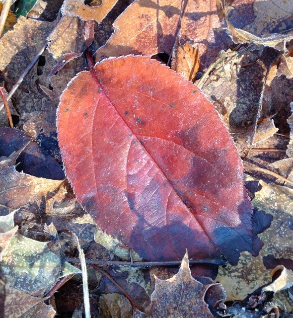 Frost Rimed leaf