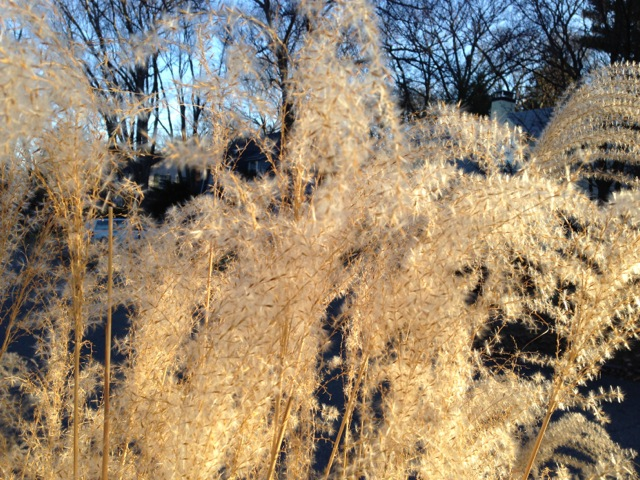 Golden Winter Grasses