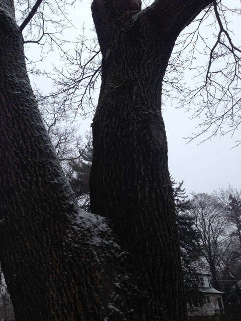 Snow on Tree, Gray Day