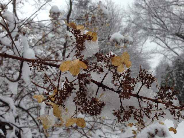 Oak Leaf Hydrangea in Snow