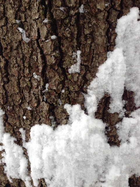 Maple Tree Bark in snow